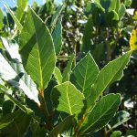 WAG bay leaf